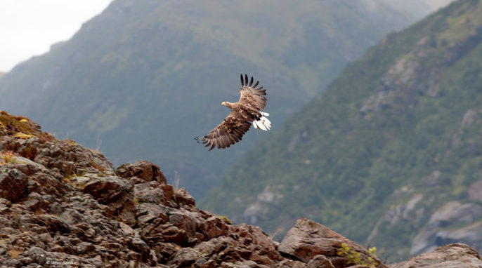 Norwegian Sea Eagles