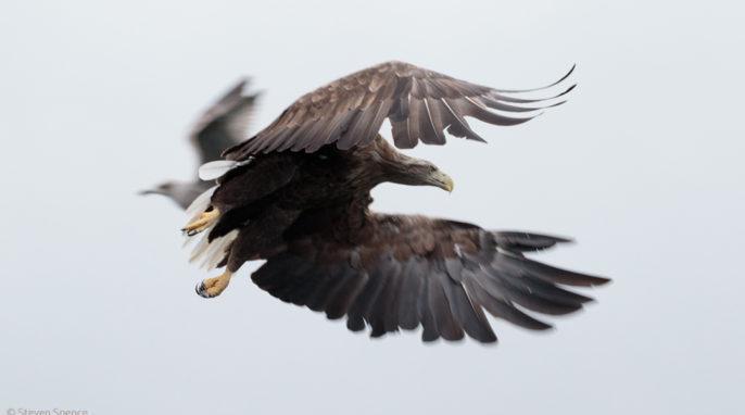 Norwegian Sea Eagles