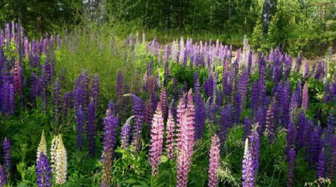 Lupine Invasions