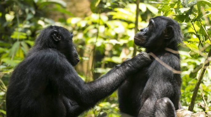 Old Bonobos Need Reading Glasses