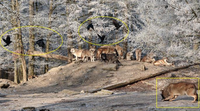 Wildlife Game of Thrones: Wolf versus Crow