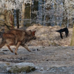 Wildlife Game of Thrones: Wolf versus Crow