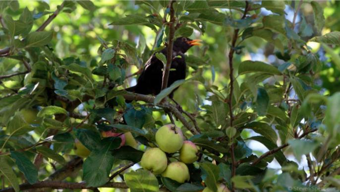Pesticide-free apple tree.