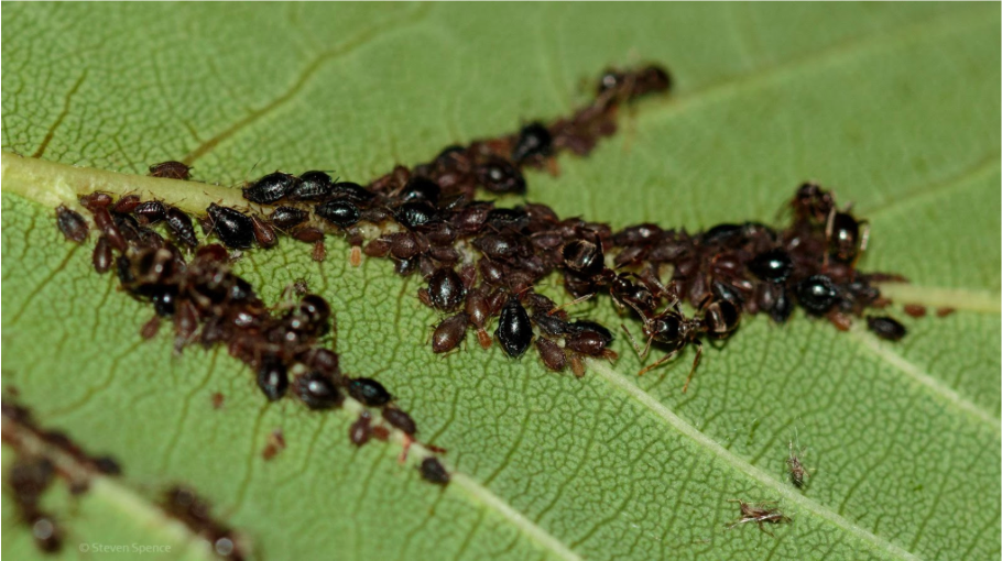 Aphids being tended by ants.