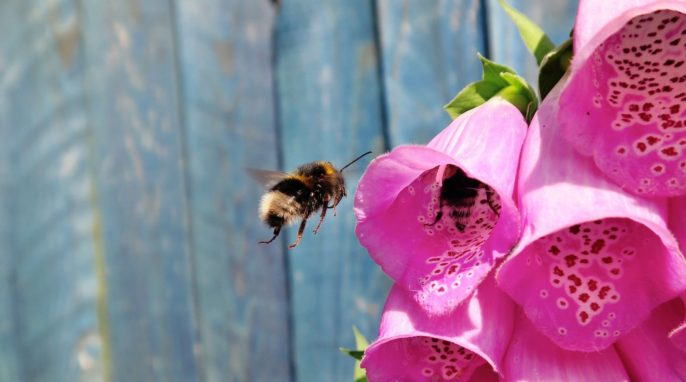 Urban Life of Bees: A Pollination-Parasite Trade-Off