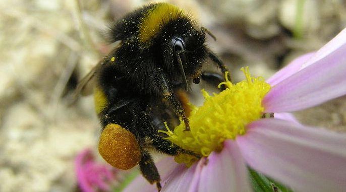 Do Wandering Bees Help Spread Disease?