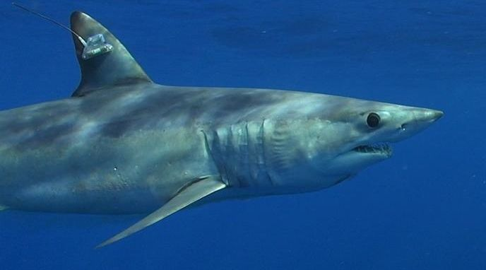Shortfin Mako Shark under Threat