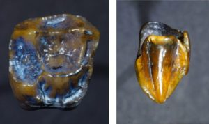 Ancient Teeth Raise Questions about Human Origin