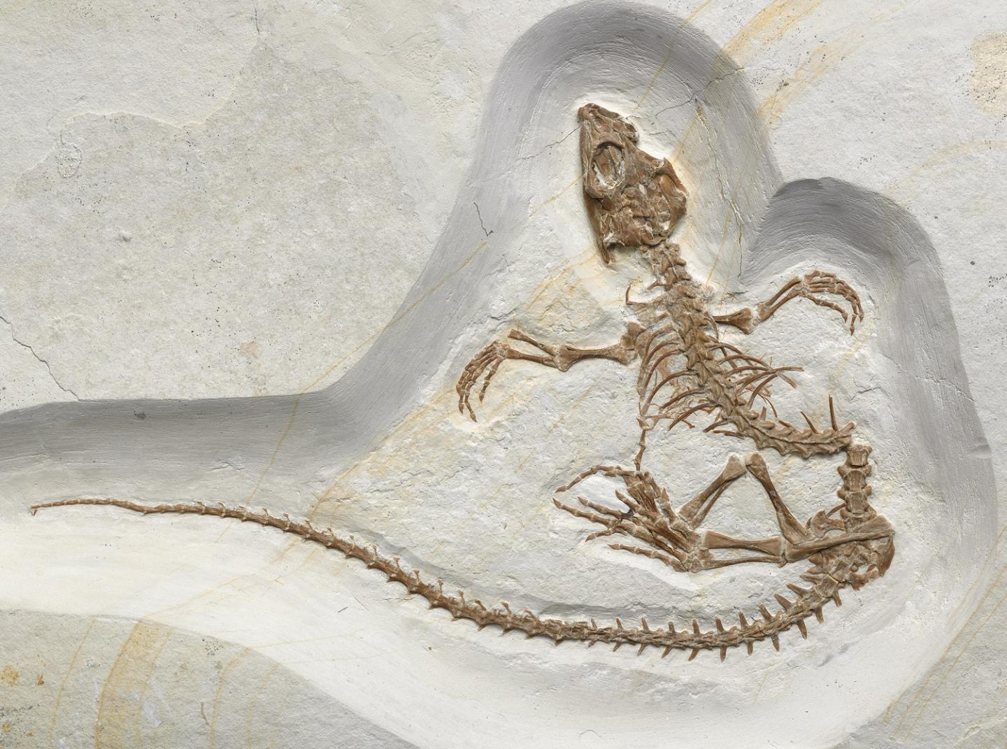 Vadasaurus Fossil Shows a Reptile in Transition