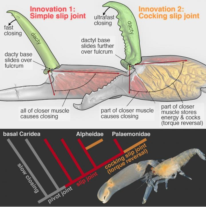 How Have Snapping Shrimp Evolved to Snap?