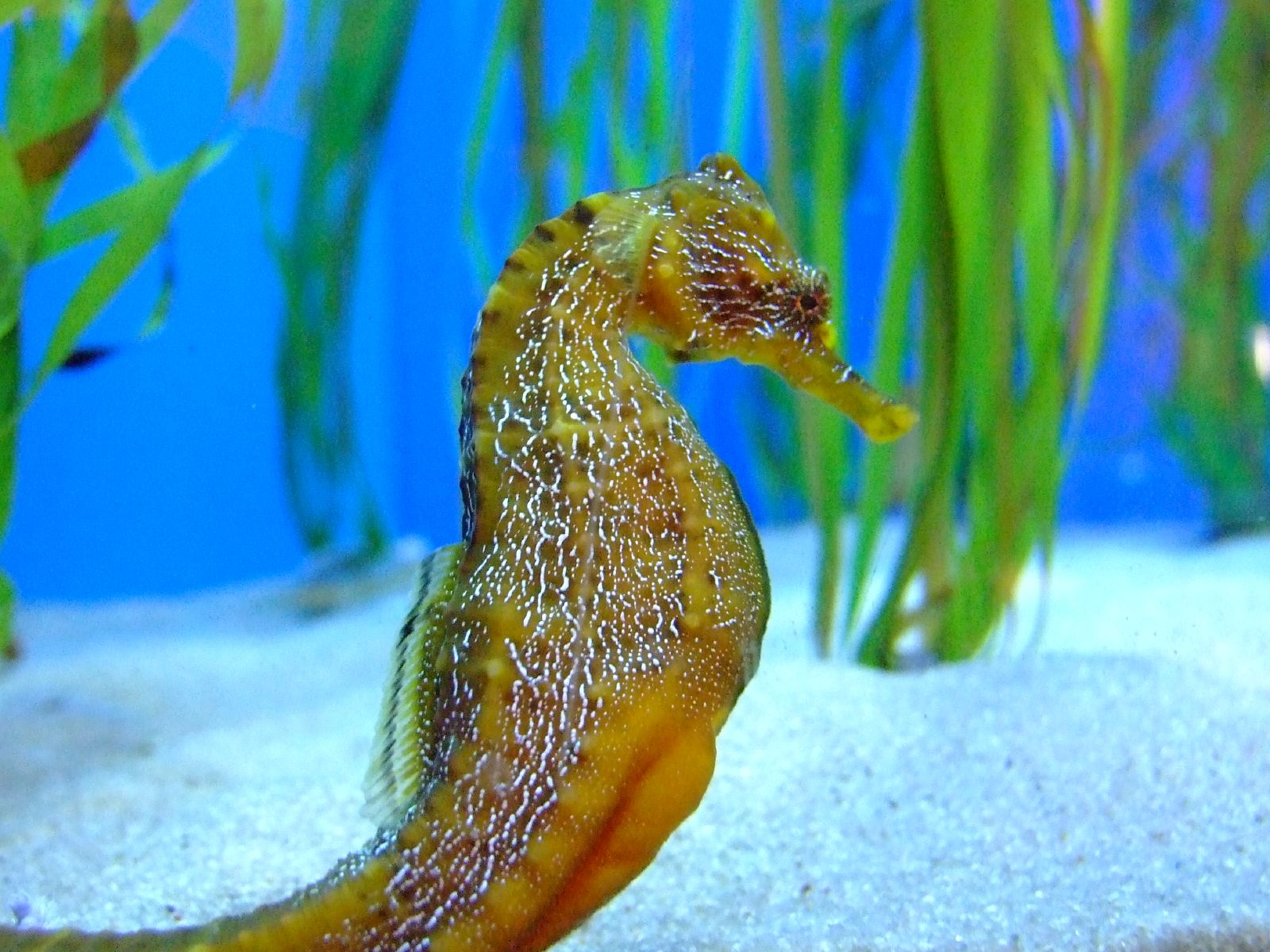 Seahorses give new meaning to dad bod