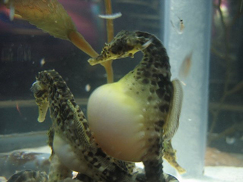 Seahorses have the ultimate dad bod.