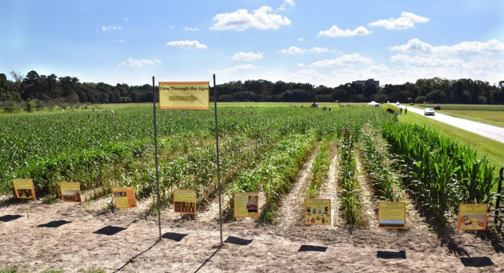 Rows and rows of corn. A demonstration plot at an annual corn maze event showing the history of the domestication of corn (Zea mays L.) from its wild ancestor through selection, hybridization, and genetic modification. The demonstration plot is also used to educate the public about agricultural crops in general and their importance to human nutrition. Image by Krishnan et al.
