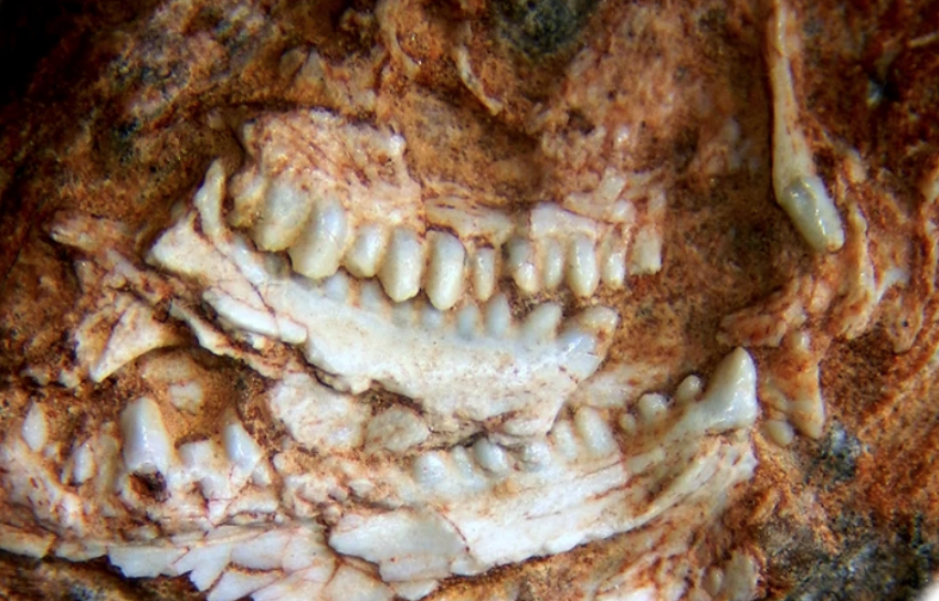 Sphenodontian: Photograph of holotype partial skull (MMACR PV-027-T)