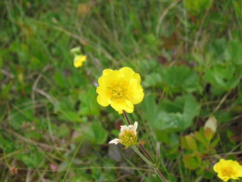 Photo 5726794, (c) Sean Blaney, some rights reserved (CC BY-NC). This observation on iNaturalist is of a species tracked by the Northeast Alpine Flower Watch project.