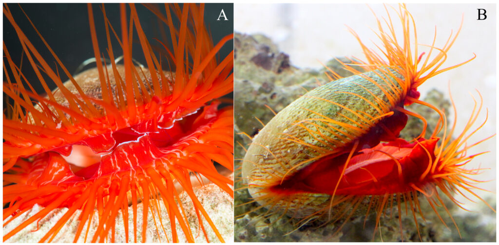 The disco clam (Ctenoides ales) (A) and Ctenoides scaber (B) exhibit reddish mantle and tentacle tissue derived from carotenoids. Credit: Dougherty et al., 2019