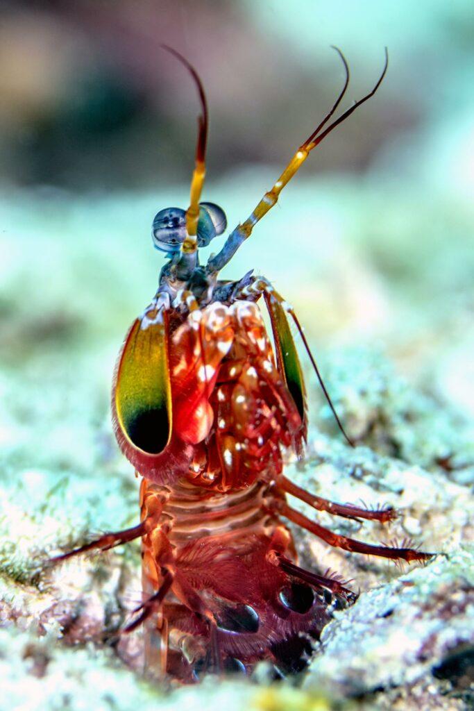 A peacock mantis shrimp peeks up from its burrow.  CREDIT Lindsey Dougherty
