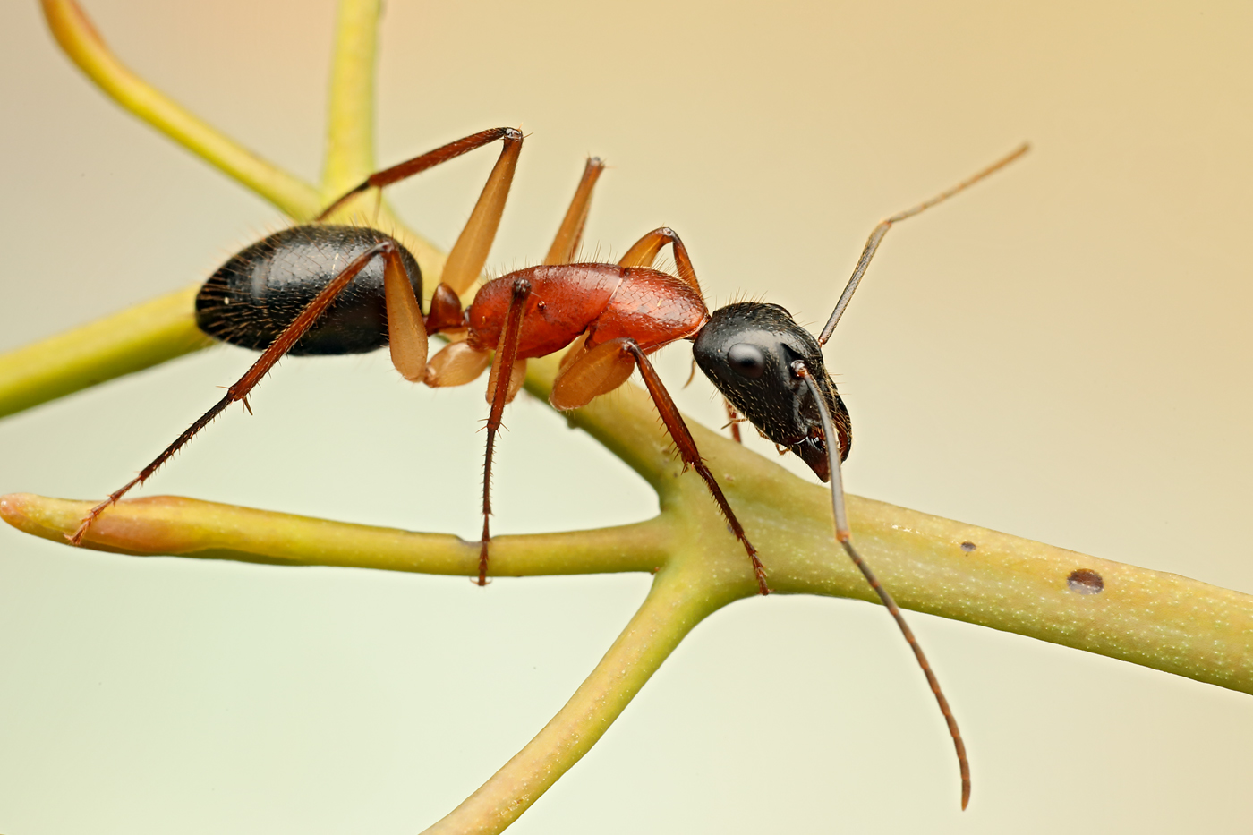 sugar ant