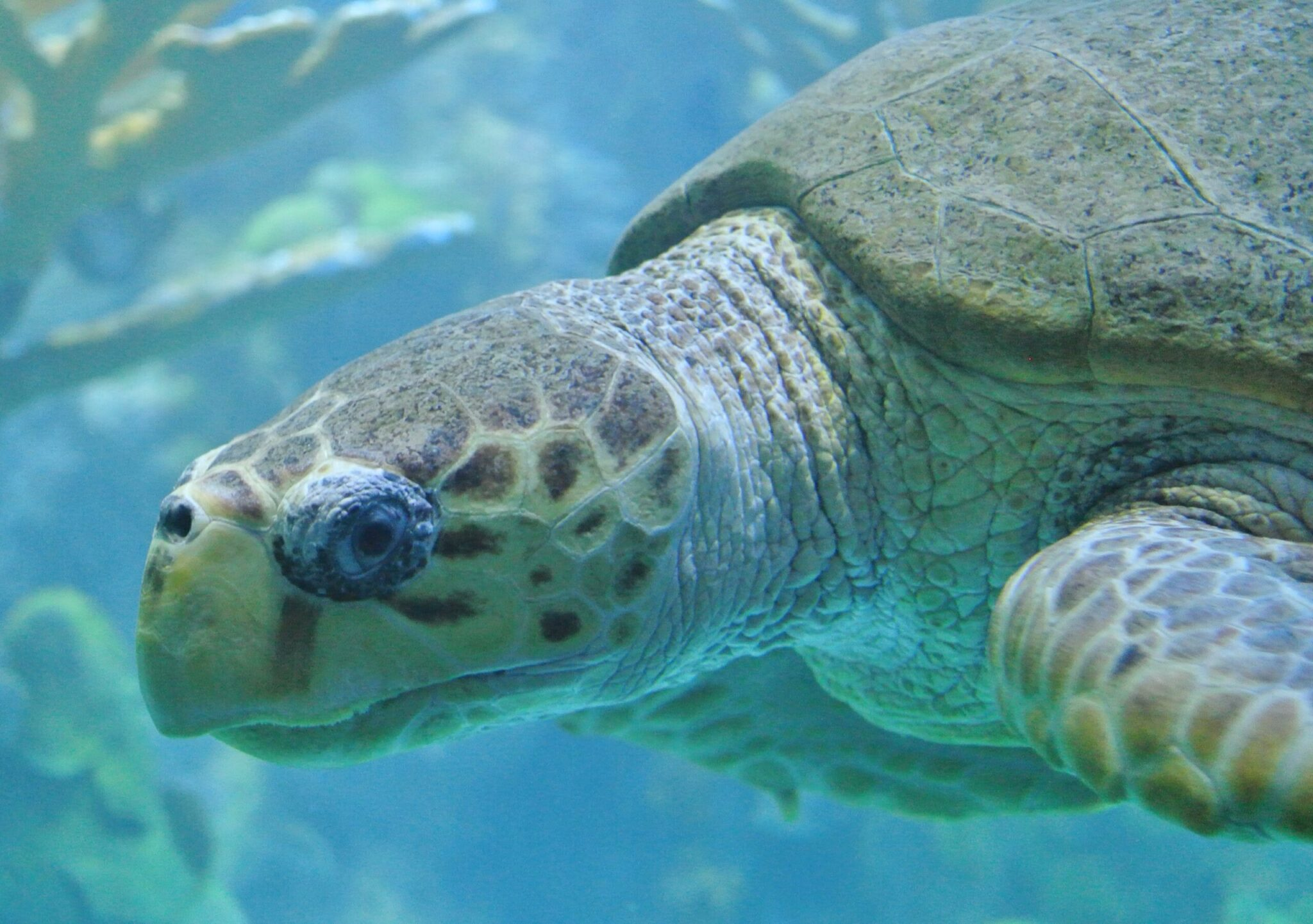 Sea turtle photographed by Lorianne DiSabato at the New England Aquarium in Boston, MA (CC BY-NC-ND 2.0)