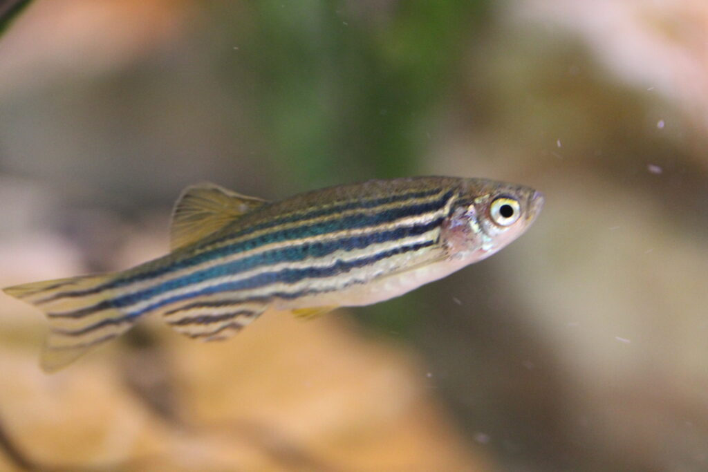 zebra fish, social isolation