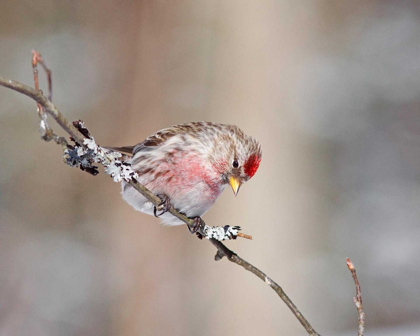Migratory birds like this Common Redpoll consume both plants and seeds.