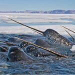 Narwal tusks reveal climate change
