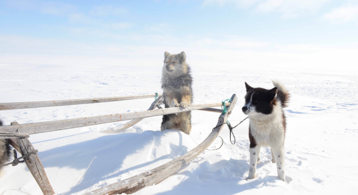 Working dogs of the Iamal-Nenets reindeer herding peoples from where the Samoyed dog breed originated. Photo courtesy of Robert Losey (LMU).