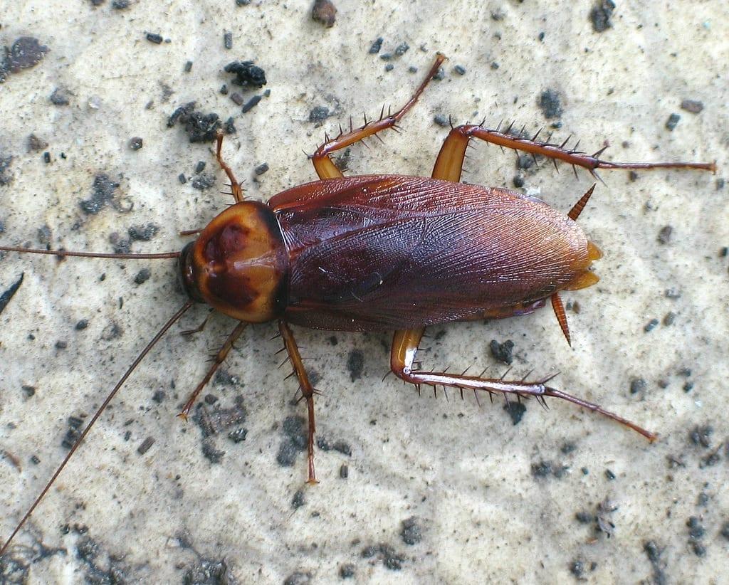 American Cockroach Phoenix Roach Control