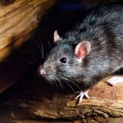 Rodent Control & Removal