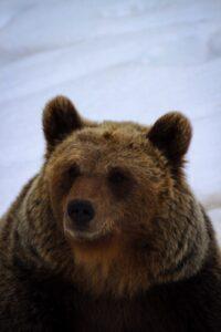 photo of fat bear, ready to hibernate