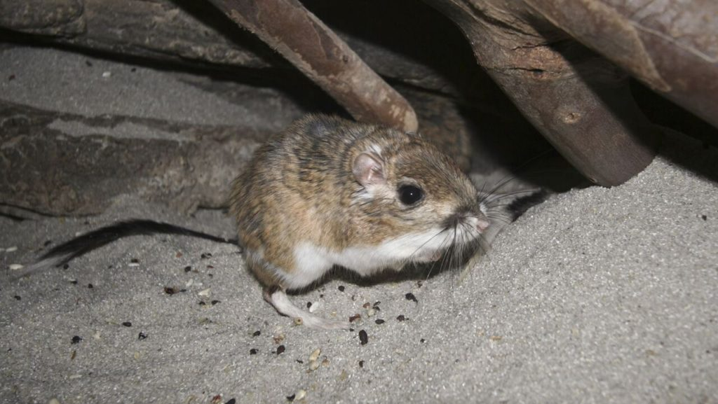 Rodent in Attic with Droppings
