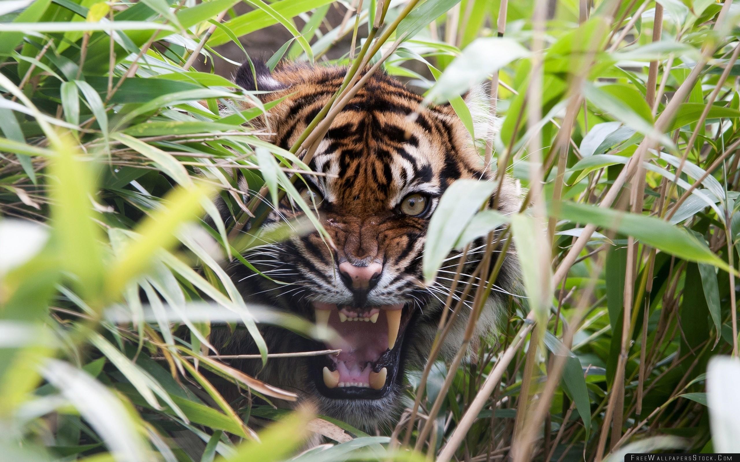 Download Free Wallpaper Tiger Predator Grass Jaws Teeth Rage