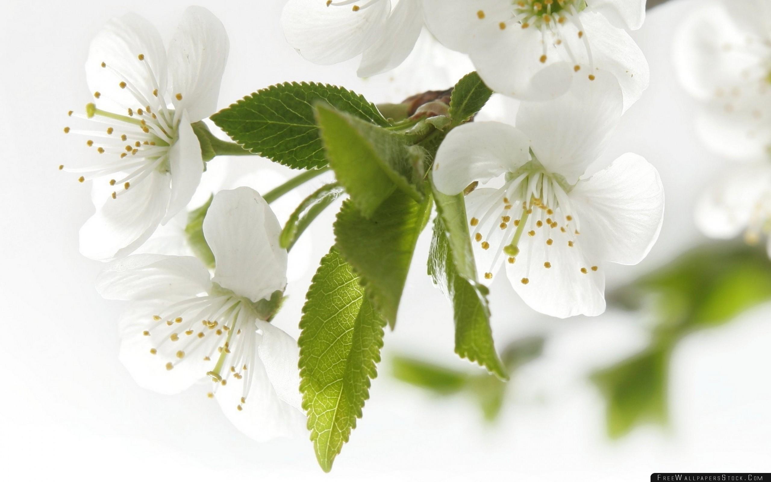 Download Free Wallpaper White Petals Apple Flowering