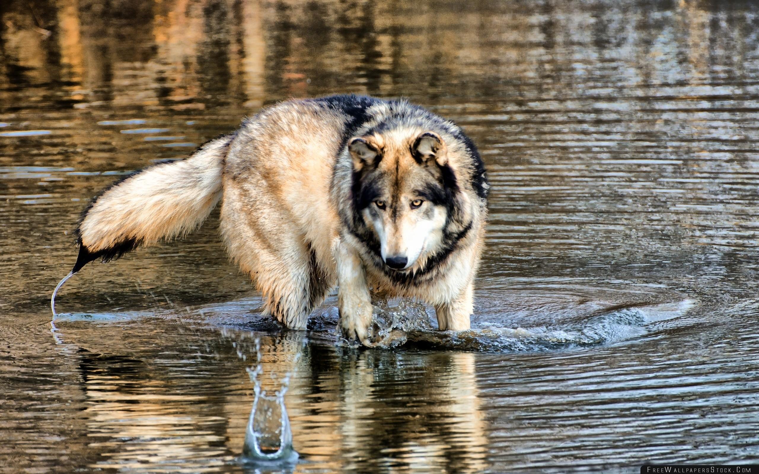 Download Free Wallpaper Wolf Water Walking Hunting Predator