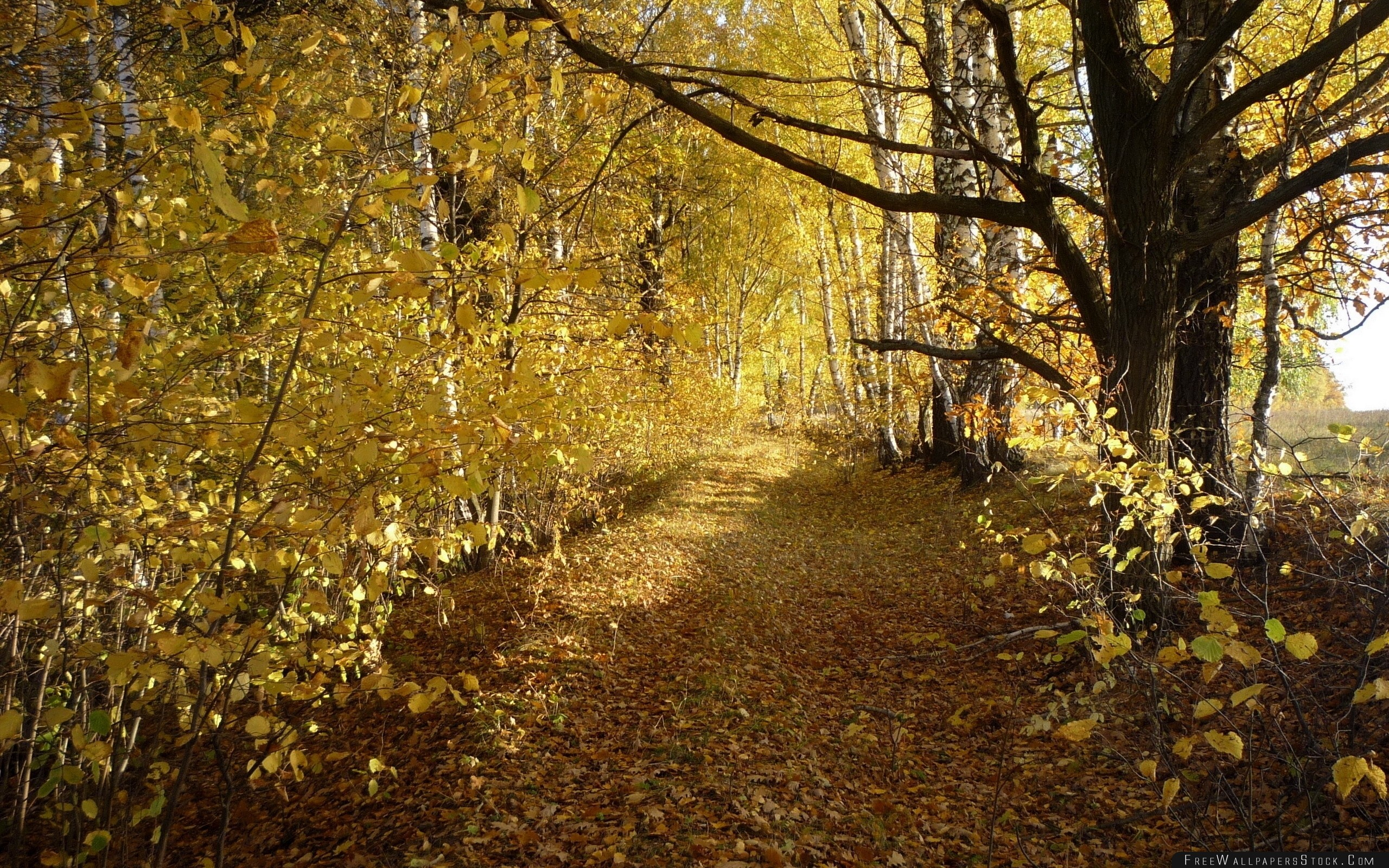 Download Free Wallpaper Wood Trees Leaf Fall Autumn Birches