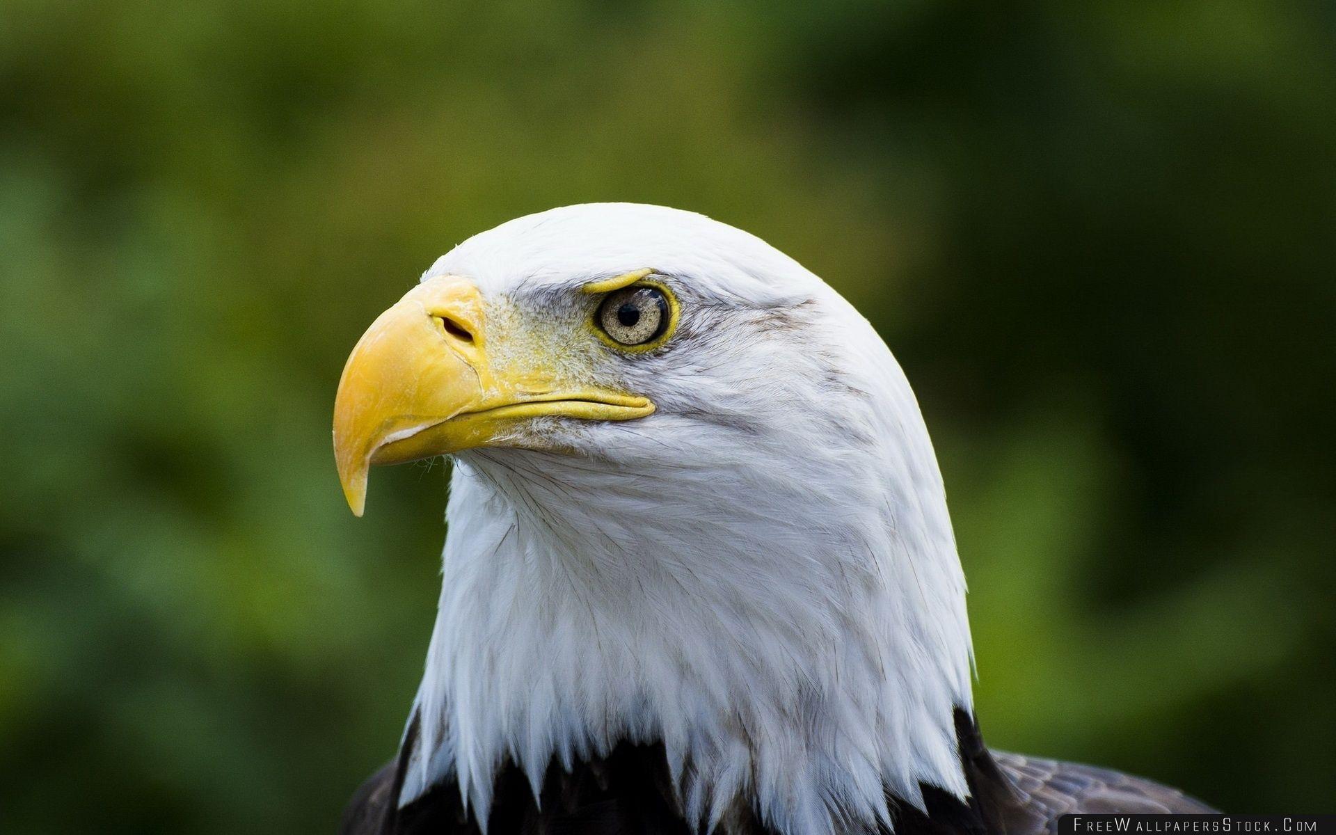 Download Free Wallpaper Bald Eagle Yellow Beak