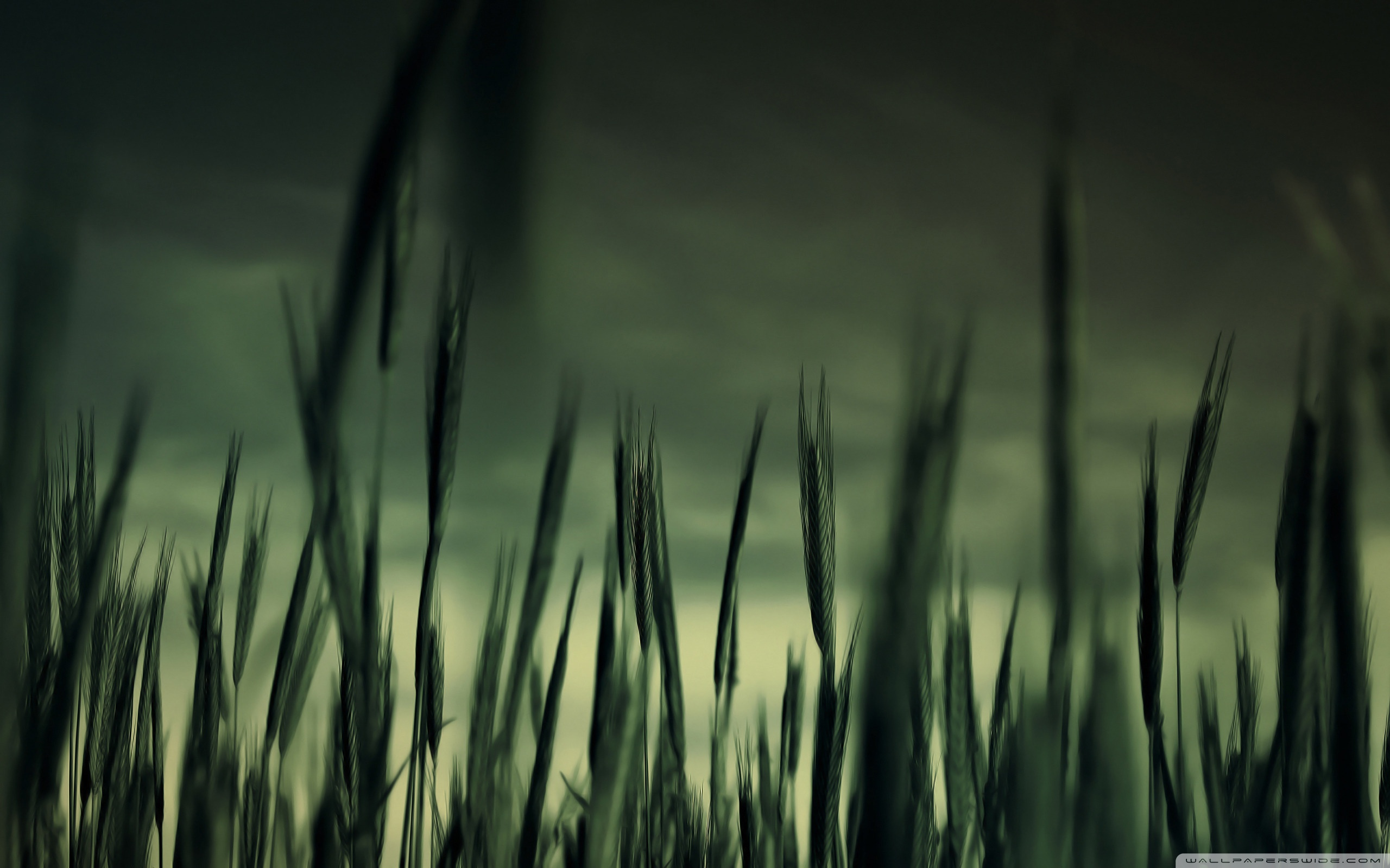 Download Free WallpaperGreen Wheat Field And Stormy Weather