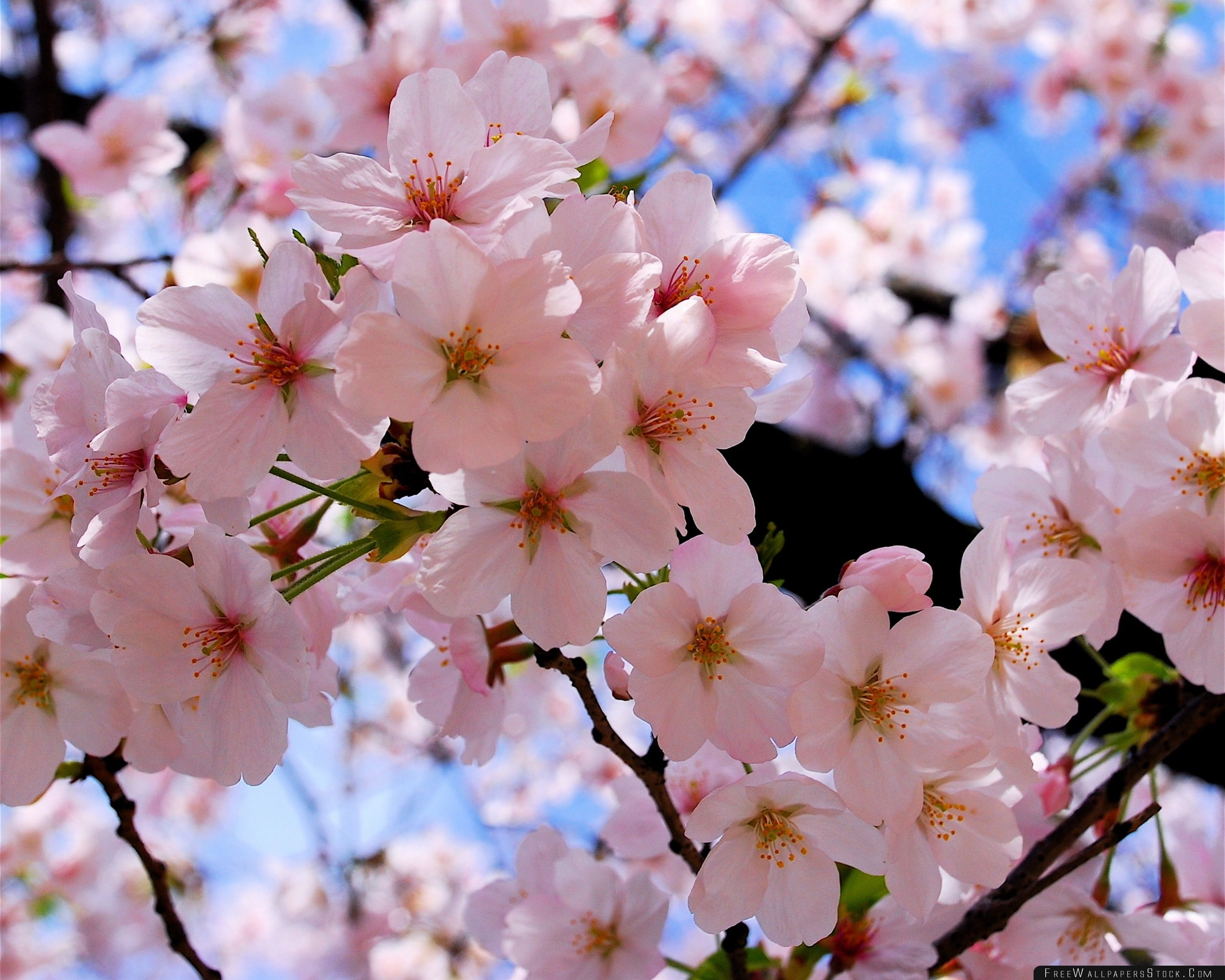 Download Free Wallpaper Spring Pink Blossoms