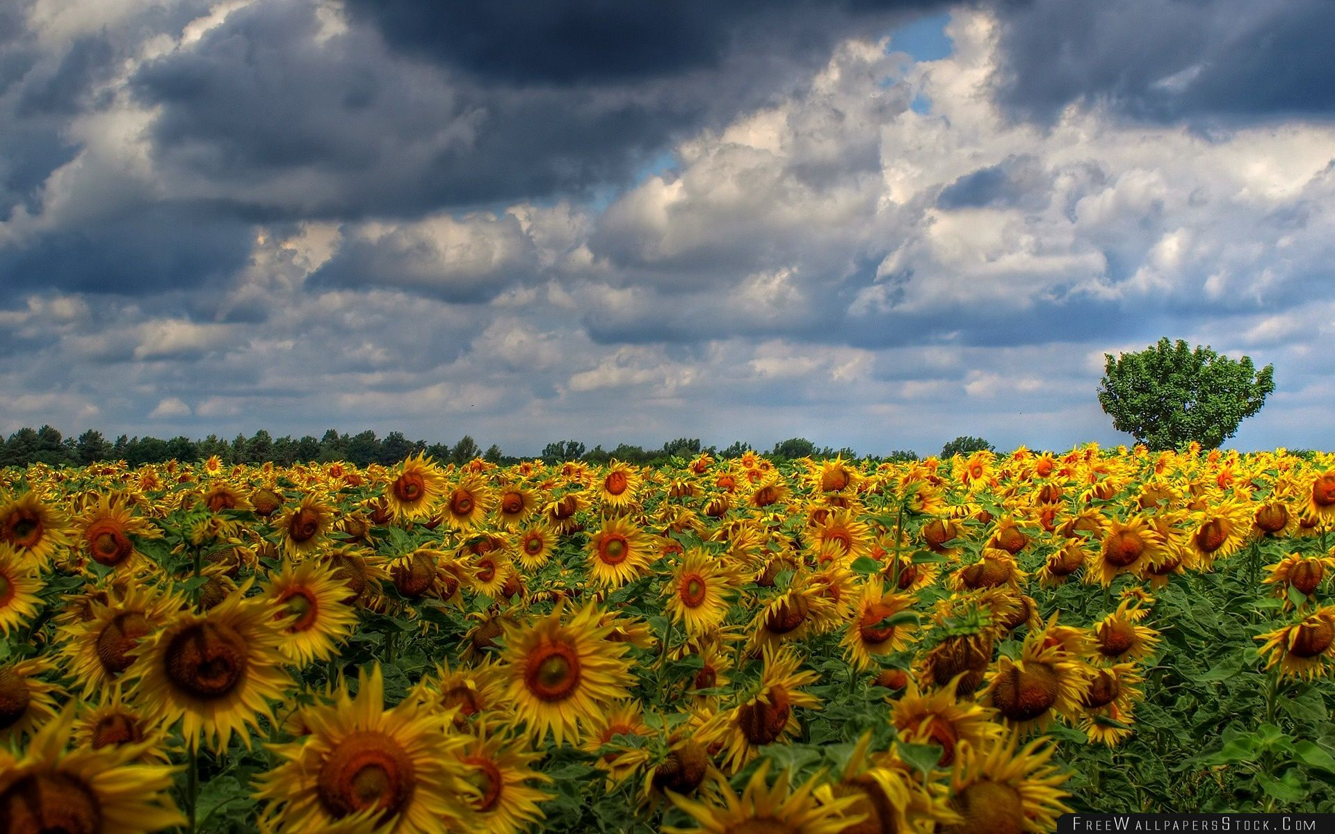 Download Free Wallpaper Sunflower Field Background