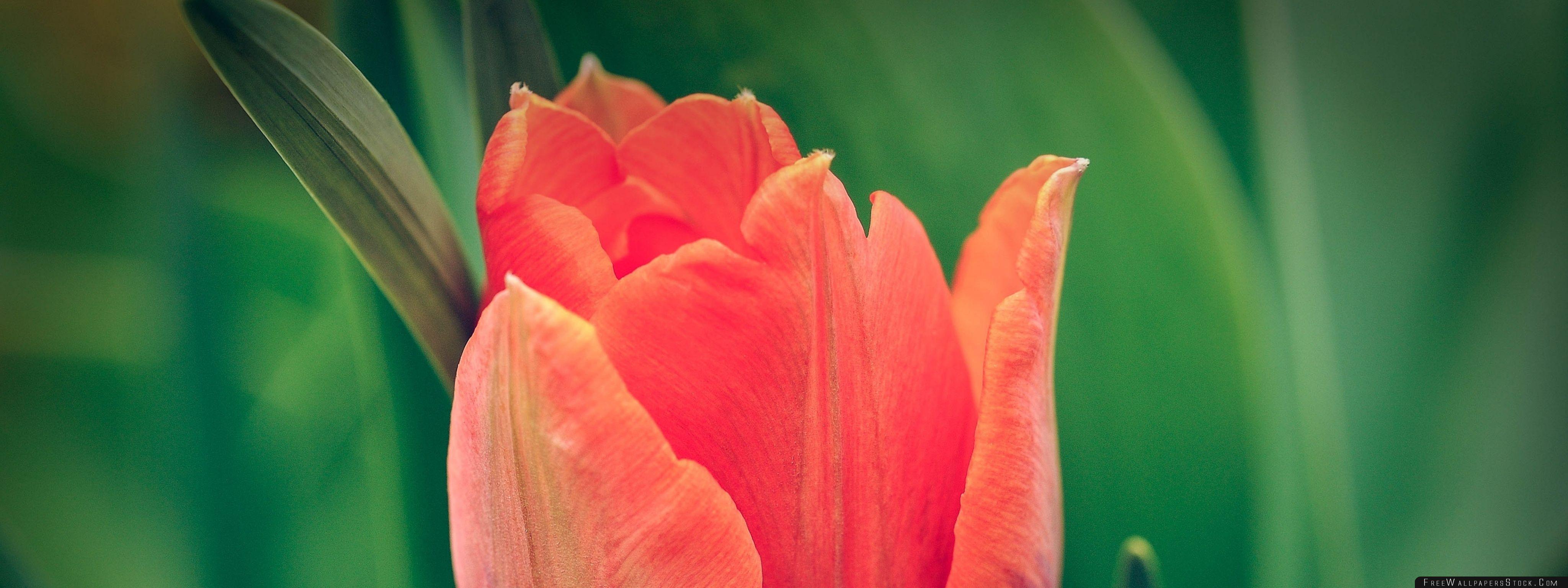 Download Free Wallpaper Tulip Green Background
