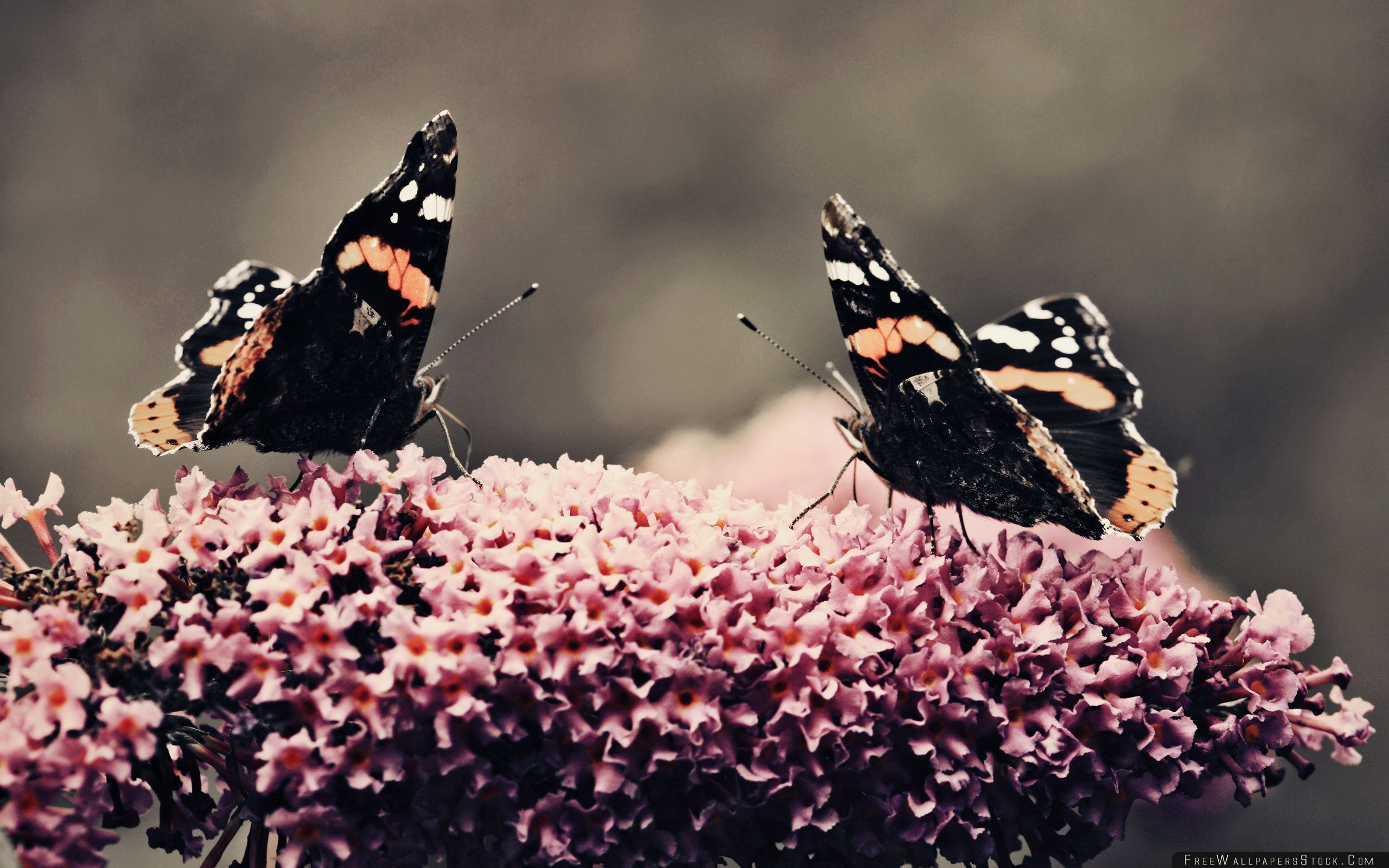 Download Free Wallpaper Two Beautiful Butterflies