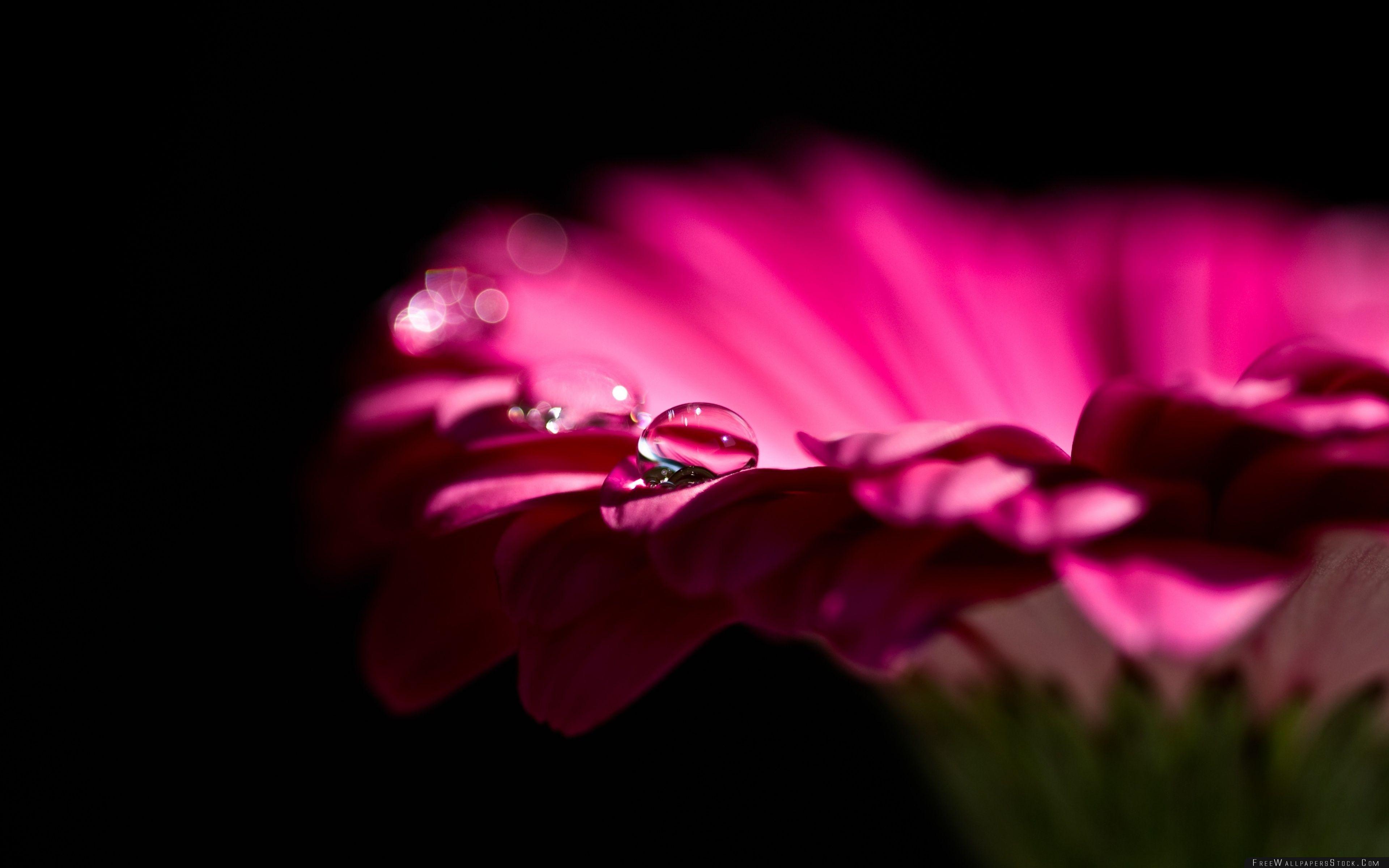 Download Free Wallpaper Water Drops   Gerbera Petals