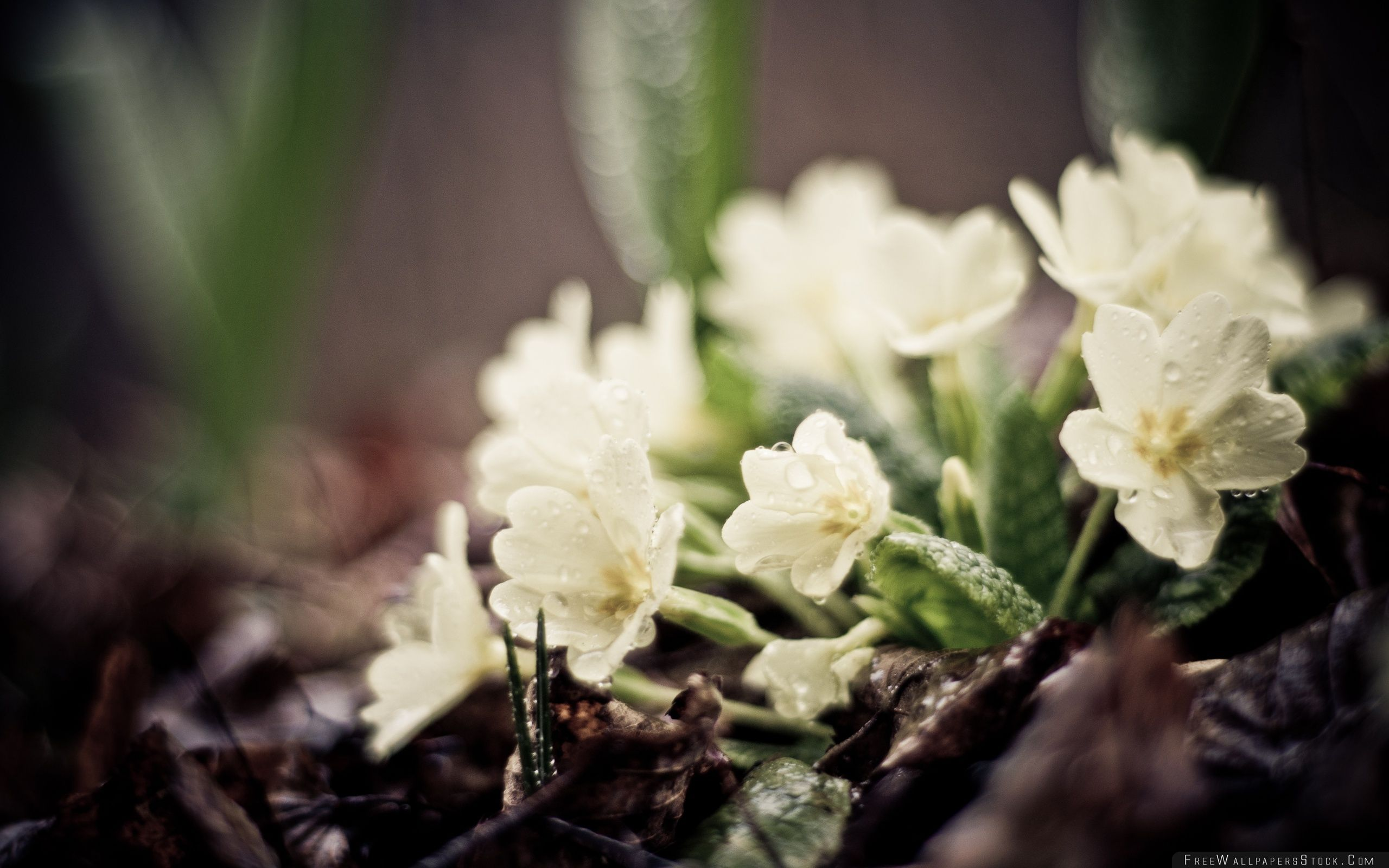 Download Free Wallpaper Water Drops   White Flowers