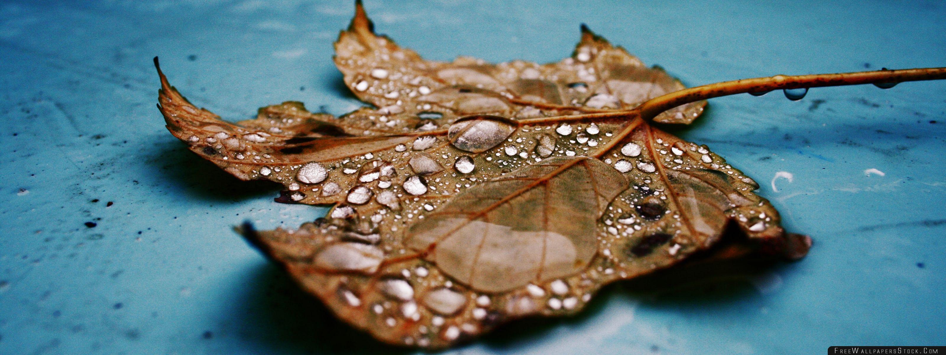 Download Free Wallpaper Wet Maple Leaf Close