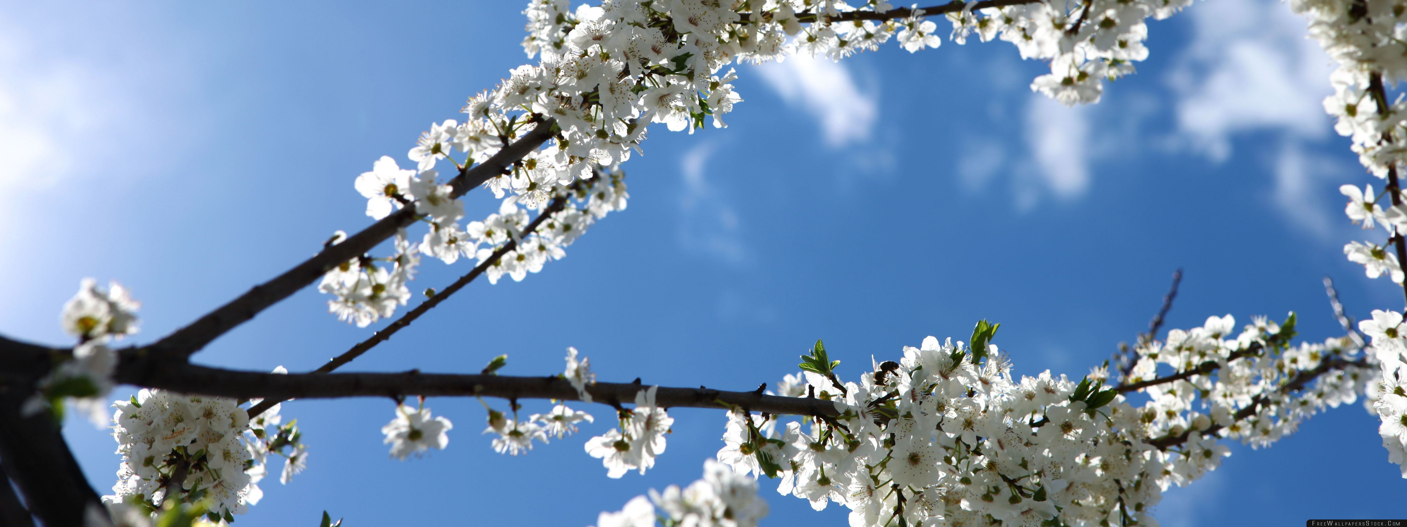 Download Free Wallpaper White Blossoms