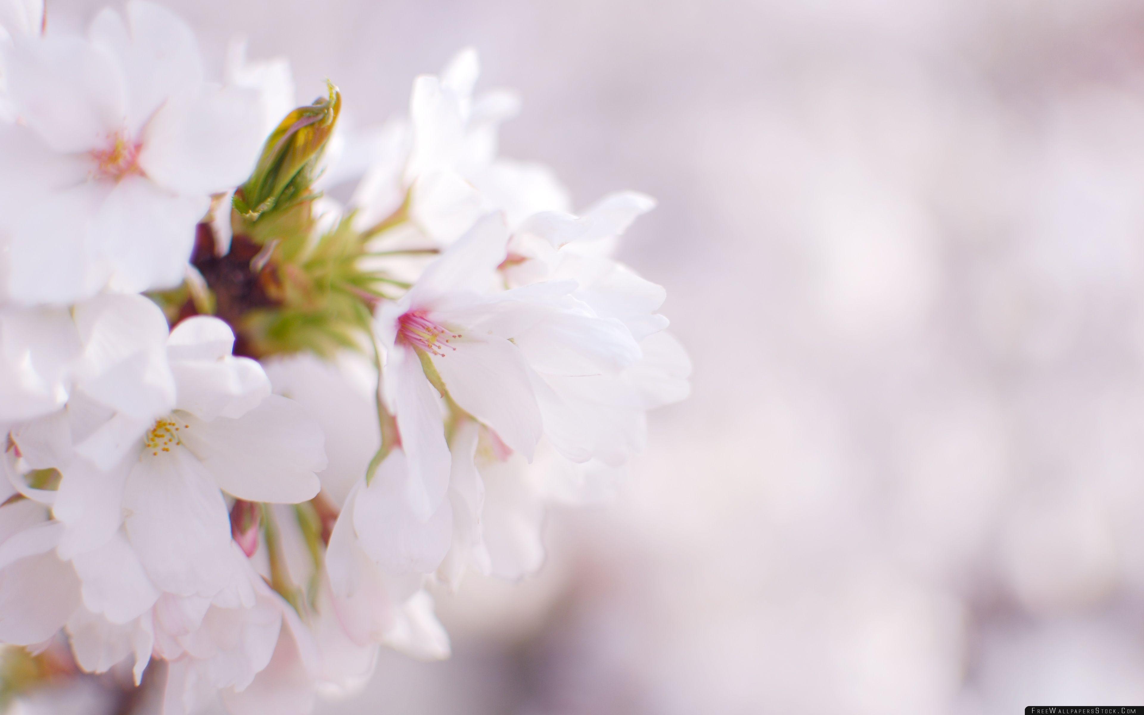 Download Free Wallpaper White Cherry Blossom