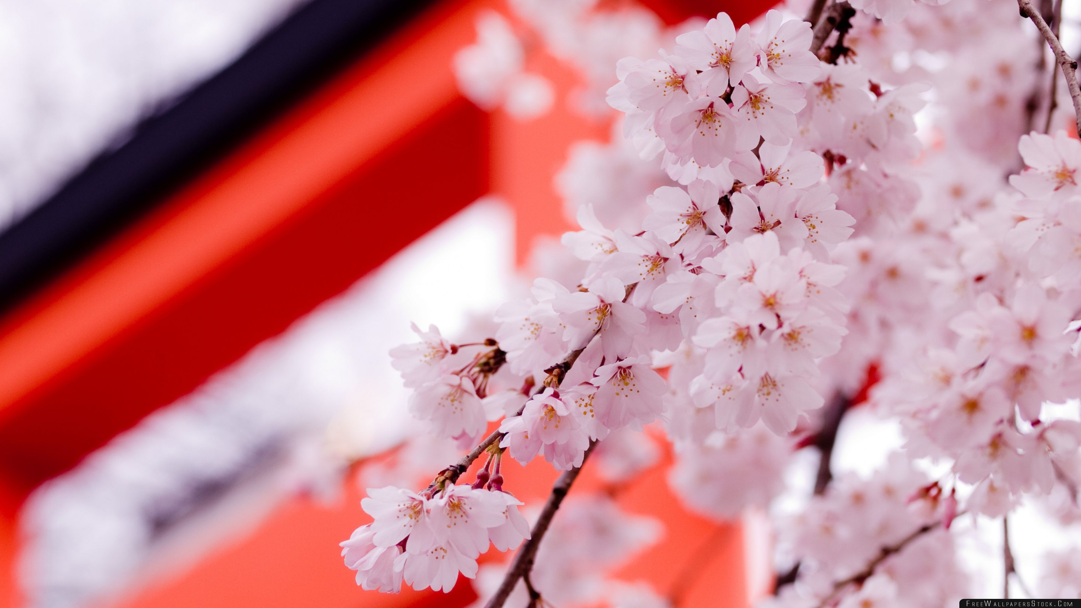 Download Free Wallpaper White Cherry Blossoms