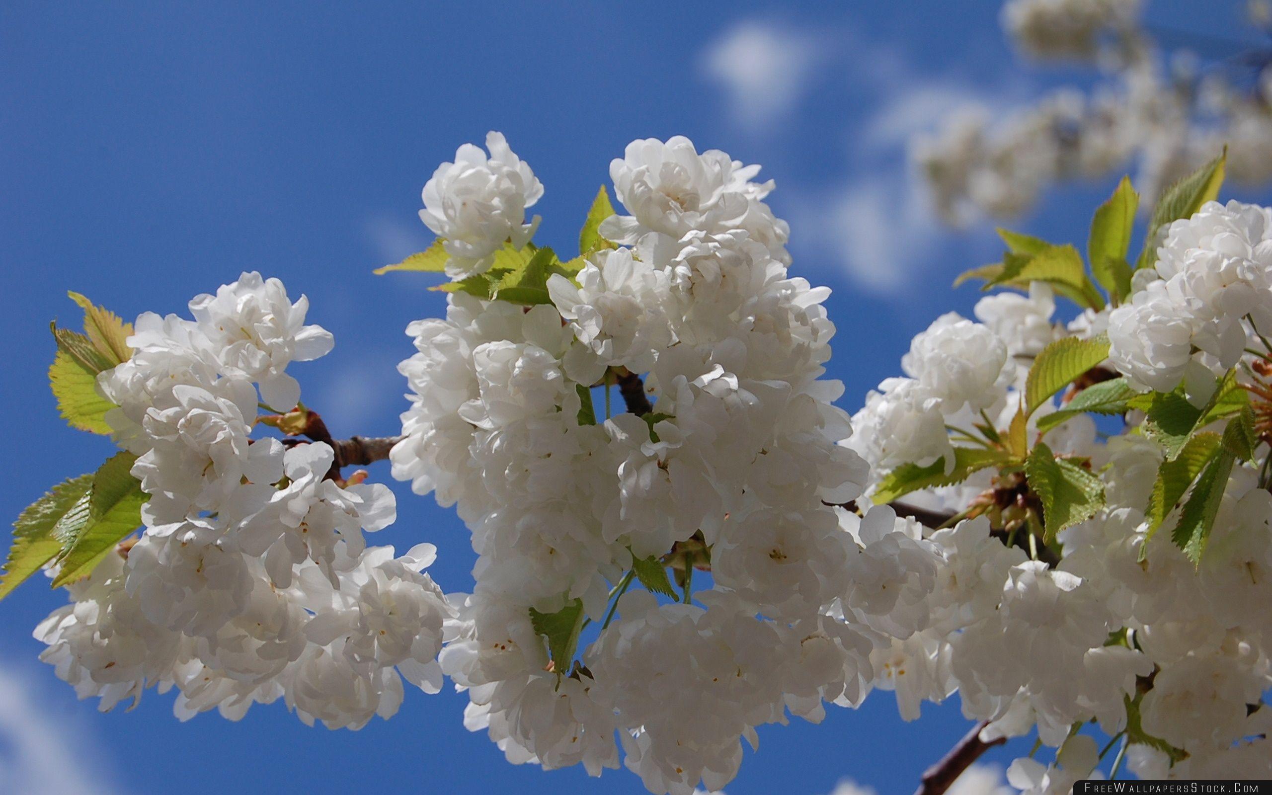 Download Free Wallpaper White Cherry Blossom Tree