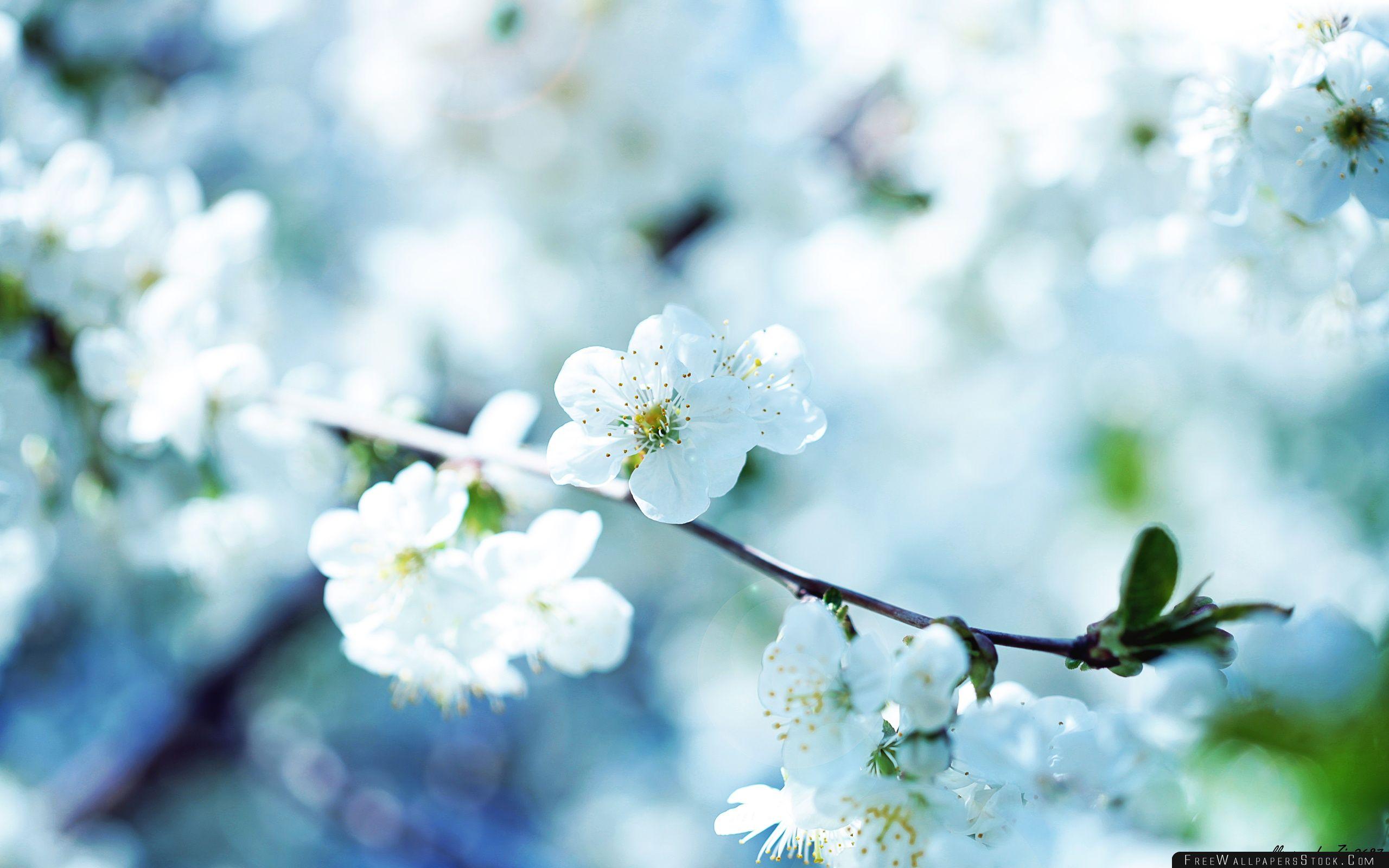 Download Free Wallpaper White Cherry Plum Flowers