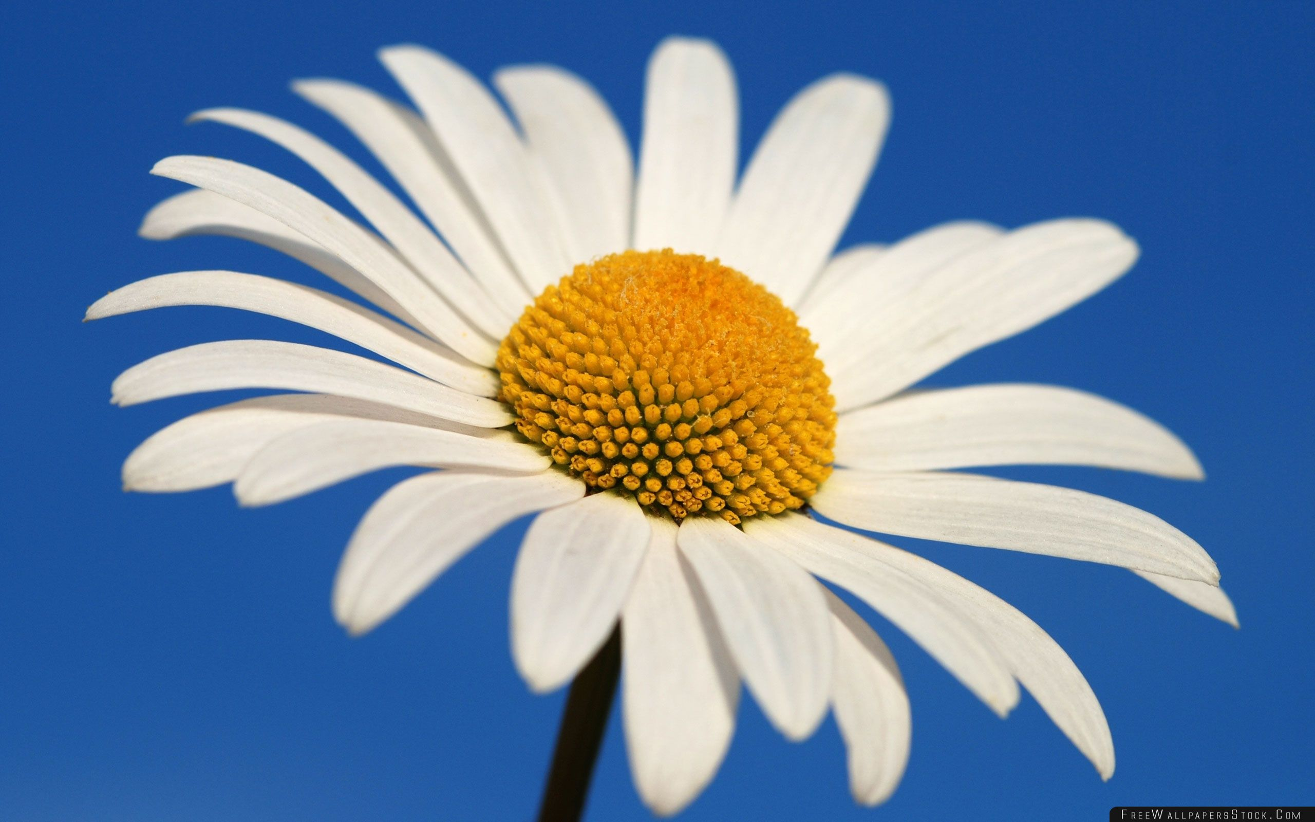 Download Free Wallpaper White Daisy Against   Blue Sky